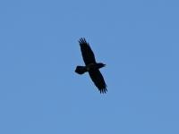 Kolkrabe im Flug, typisch ist der im Flug keilförmige Schwanz, Frauenteich Moritzburg am 01.10.2013