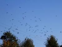 Schwarm Kolkraben (ca. 80 Vögel) im Flug, Sachsen/ Marsdorf im Oktober 2013