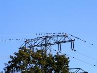Schwarm Kolkraben auf einem Strommast, Sachsen/ Marsdorf im Oktober 2013
