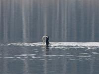 Kormoran im Kampf mit einem Aal, Breiter Teich Zschorna im März 2013