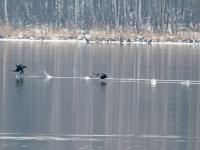 2 Kormorane beim Start aus dem Wasser, Breiter Teich Zschorna im März 2013