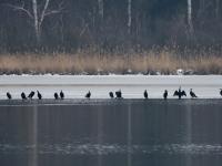 Kormoran Gruppe steht auf dem Eis, Breiter Teich Zschorna im März 2013