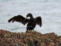 Der Kormoran breitet gern im stehen seine Flügel aus, das ist eine typische Haltung. Mallorca, Ort Sa Coma, Halbinsel Punta de n'Amer im April 2013
