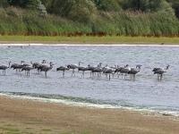 Kraniche, Teichgebiet Zschorna, breiter Teich Nordufer, August 2014