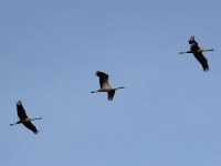 3 Kraniche im Flug, Nähe Rietzer See, April 2014