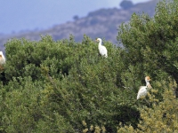 Kuhreiher Gruppe, Mallorca im Naturschutzgebiet S'Albufera im April 2013