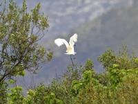 Kuhreiher, Mallorca im Naturschutzgebiet S'Albufera im April 2013