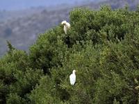 2 Kuhreiher, Mallorca im Naturschutzgebiet S'Albufera im April 2013