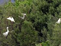 3 Kuhreiher (unten links Seidenreiher), Mallorca im Naturschutzgebiet S'Albufera im April 2013