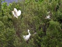 2 Kuhreiher (unten Mitte Seidenreiher), Mallorca im Naturschutzgebiet S'Albufera im April 2013