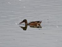 Löffelente Männchen im Sommerkleid, Teichgebiet Zschorna, breiter Teich, August 2014