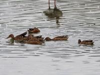 Gruppe Löffelenten bei der Nahrungssuche, Teichgebiet Zschorna, breiter Teich, August 2014