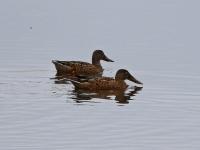 2 Löffelenten, Teichgebiet Zschorna, breiter Teich, September 2014