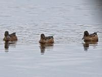 Gruppe Löffelenten, Teichgebiet Zschorna, breiter Teich, September 2014