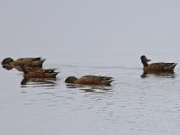 Gruppe Löffelenten bei der Nahrungssuche, Teichgebiet Zschorna, breiter Teich, September 2014