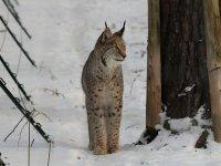 europäischer Luchs im Wildgehege Moritzburg Januar 2013