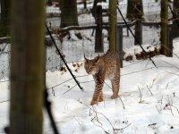 Luchs im Wildgehege Moritzburg Januar 2013
