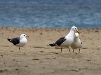3 erwachsene Mittelmeermöwen im Prachtkleid, Mallorca, Ort: Santa Ponca am Strand im April 2013