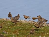 Mornellregenpfeifer, Ostsee, Insel Fehmarn, NABU Wasservogelreservat Wallnau, August 2015