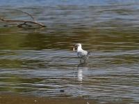 Lachmöwe mit erbeutetem Fisch, Teichgebiet Zschorna, breiter Teich, im Juli 2014