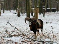 europäischer Mufflon im Wildgehege Alberpark Dresdner Heide
