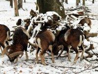 europäischer Mufflon, Rudel im Wildgehege Alberpark Dresdner Heide