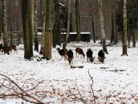 Mufflon Rudel im Wildgehege Alberpark Dresdner Heide