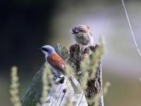Neuntöter Männchen füttert diesjährigen Jungvogel, Lüttichau (Sachsen), August 2014