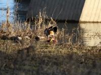 Nilgans Pärchen bei der Fortpflanzung, Elbbrücke Niederwartha Dresden im März 2013