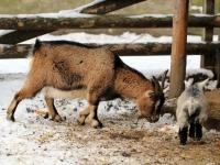 nordafrikanische Zwergziegen im Wildgehege Moritzburg Januar 2013