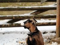 nordafrikanische Zwergziege bekommt Futtertüte nicht ab im Wildgehege Moritzburg Januar 2013