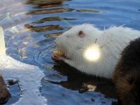 Nutria Biberratte weiß beim fressen im Wildpark Osterzgebirge Januar 2013