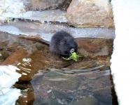Nutria Biberratte schwarz beim fressen im Wildpark Osterzgebirge Januar 2013