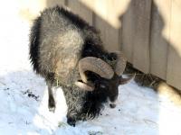 Ouessant Schaf im Wildpark Osterzgebirge Januar 2013