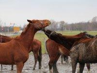 2 sich neckende Pferde im Reiterhof und Pension Kunze in Wurzen