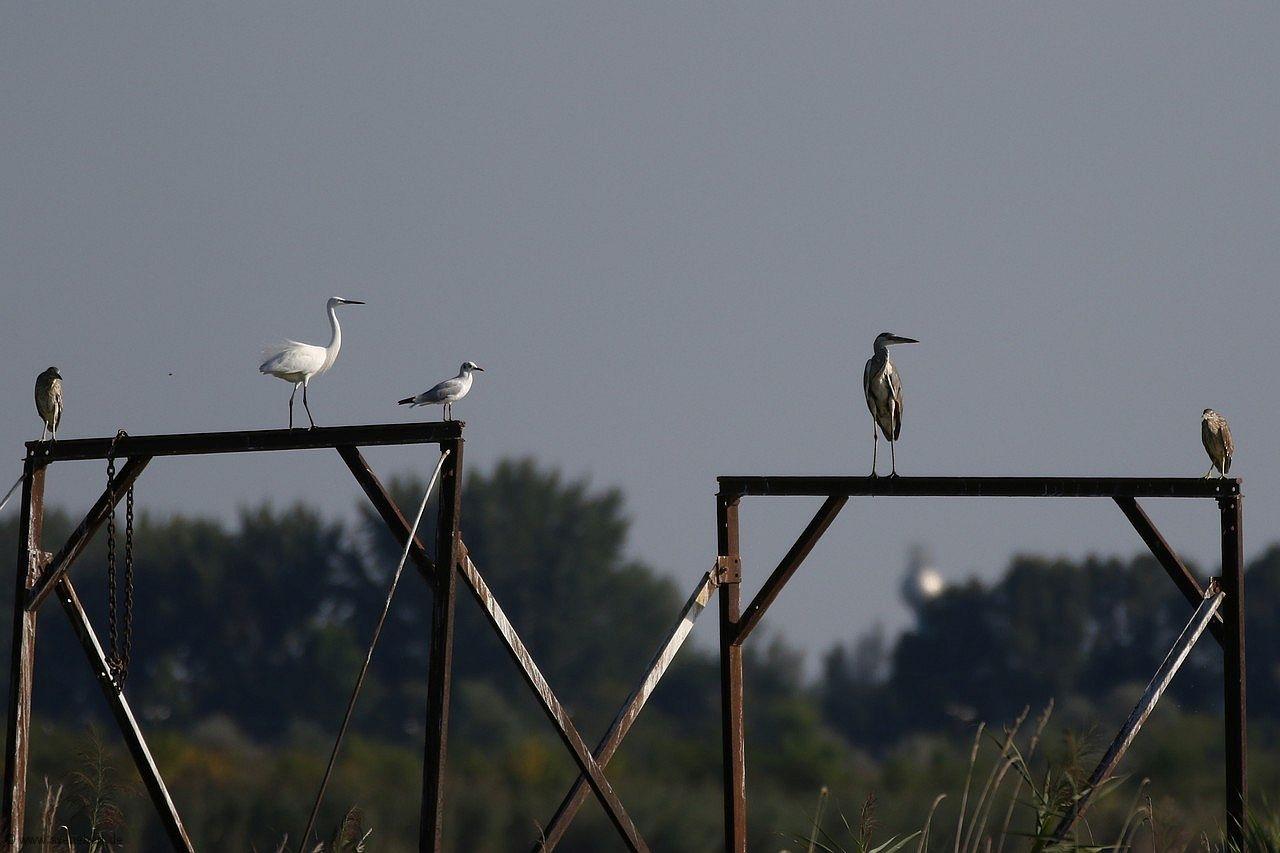 Rallenreiher rechts und links (Seidenreiher 2. von links, mitte Lachmöwe, 2. von rechts Grauhreiher), an den Fischzuchtteichen am Halasto, beim Ort Csanytelek in Ungarn, August 2016