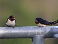 Rauchschwalbe adult links, rechts Jungvogel, Teichgebiet Zschorna, August 2014