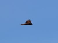 junge Rohrweihe im Flug (geschätzt im 1. Lebensjahr), in der Nähe von Radeburg im März 2013