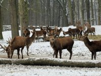 Rothirsch Rudel im Wildgehege Moritzburg Januar 2013