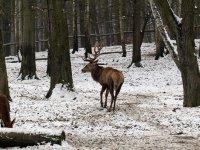Rothirsch im Wildgehege Moritzburg Januar 2013