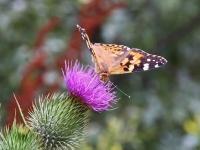 Schmetterling und Edelfalter Distelfalter, Kap Arkona Insel Rügen im August 2013