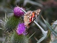 Schmetterling und Edelfalter Distelfalter Unterseite, Kap Arkona Insel Rügen im August 2013