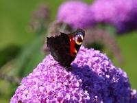Schmetterling und Edelfalter Tagpfauenauge Unterseite, Ort Gager Insel Rügen im Juli 2013