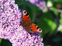 Schmetterling und Edelfalter Tagpfauenauge, Ort Gager Insel Rügen im Juli 2013
