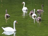 Höckerschwan Familie mit 4 diesjährigen Jungvögeln, Niederer Waldteich bei Volkersdorf, September 2014