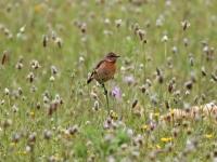 Schwarzkehlchen Weibchen, Mallorca, Ort: Sa Coma im Naturschutzgebiet Punta de n'Amer im April 2013