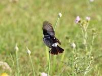Schwarzkehlchen Männchen Balanceakt auf dünnem Pflanzenstängel, Mallorca, Ort: Sa Coma im Naturschutzgebiet Punta de n'Amer im April 2013
