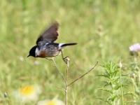 Schwarzkehlchen Männchen beim Abflug, Mallorca, Ort: Sa Coma im Naturschutzgebiet Punta de n'Amer im April 2013
