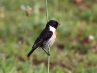Schwarzkehlchen Männchen, Mallorca, Ort: Sa Coma im Naturschutzgebiet Punta de n'Amer im April 2013