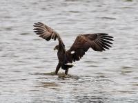 Seeadler adult, Teichgebiet Zschorna, breiter Teich Nordufer, September 2014